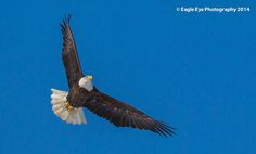 An adult Bald Eagle flies over a frozen marsh in Rye Harbor State Park - Rye, NH 02-10-14