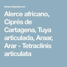 Alerce africano, Ciprés de Cartagena, Tuya articulada, Araar, Arar - Tetraclinis articulata