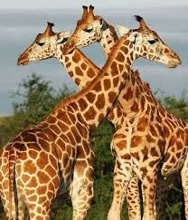 Resultado de imagen para giraffes