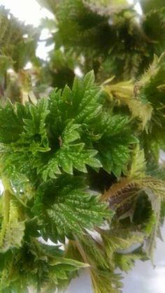 Jarní kopřiva a kopřivový čaj | Bylinky pro radost Kraut, Parsley, Korn, Herbs, Gardening, Recipes, Garten, Herb, Lawn And Garden