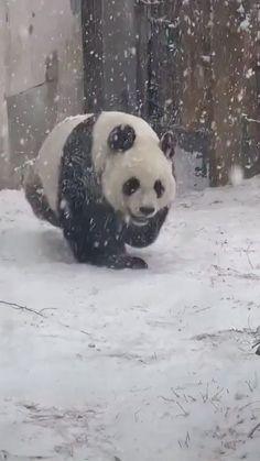 Super Cute Animals, Cute Little Animals, Cute Funny Animals, Cute Cats, Big Cats, Panda Funny, Cute Panda, Cute Animal Videos, Funny Animal Pictures