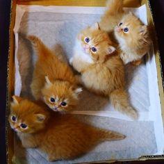 斜めに並んでハイチーズ(^-^) の画像 マンチカンズと仲間たち(短足猫のマンチカンの画像と動画)  Munchkin kitten