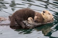 Sea otter and baby floating.