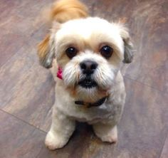 Molly the Lhasa Apso -not the best pic of her collar but she is evidently pleased with it...