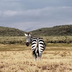 """Photo by @ciriljazbec / Why do zebras have stripes? This """"stripe riddle"""" has puzzled scientists, including Darwin, for over a century. There are five main hypotheses for why zebras have the stripes: to repel insects, to provide camouflage through some optical illusion, to confuse predators, to reduce body temperature, or to help the animals recognize each other.  Gate National Park in Kenya."""