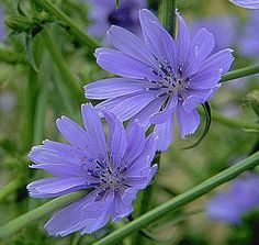Chicory  - Helping us to care for others with unselfish warmth and kindness and to let go of any nagging, criticism or a need to domineer.