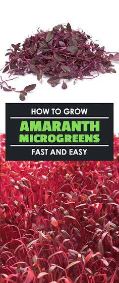 How to Grow Amaranth Microgreens Fast and Easy ##gardening #gardeningtips