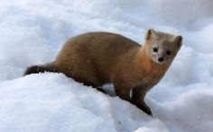 The sable (Martes zibellina) is a species of marten Pine Marten, Future Photos, Take Better Photos, Cool Landscapes, Travelogue, Zoology, Us Images, Otters, Polar Bear
