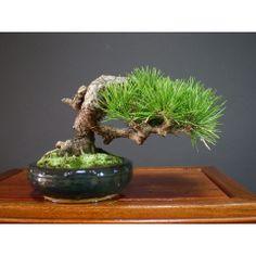 RK:三河黒松:小品盆栽