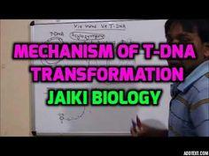 Jaiki biology: MECHANISM OF T-DNA TRANSFORMATION