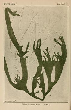 sea life/ plant life Japanese algae Vol. Plant Illustration, Botanical Illustration, Botanical Drawings, Botanical Prints, Sea Plants, Bio Art, Image Nature, Street Art, Illustrations