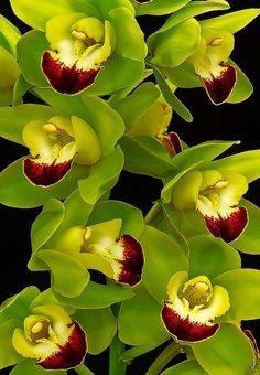 Strange Flowers, Unusual Flowers, Rare Flowers, Green Flowers, Tropical Flowers, Amazing Flowers, Beautiful Flowers, Orchid Leaves, Orchid Plants