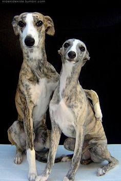 What a sweet couple!  I love his arm around her shoulder and the shy smile on the female!  They do look like Italian Greyhounds....  Just precious!!!
