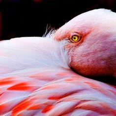 Les yeux en or du flamant rose
