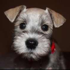 Gotta love baby schnauzers!!! This is baby Swayze at 8 weeks old.