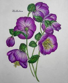 Hellebores from The Flower Year by Leila Duly using prismacolors.#thefloweryearcoloringbook #thefloweryear #leiladuly #hellebore #adultcoloring #prismacolors
