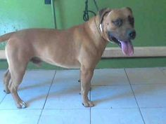 CHACHO - URGENT - L.A. COUNTY ANIMAL CARE CONTROL: CARSON SHELTER in Gardena, CA - Adult Male Pit Bull/German Shepherd Mix
