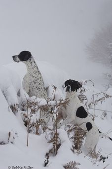English Pointers in the snow