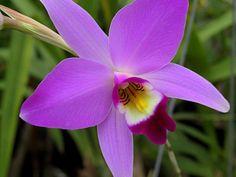 orchidea Laelia Anceps