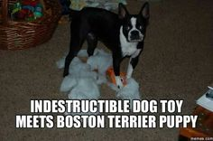 Indestructible? Not With A Boston! ❤❤❤ from: http://bostonterrierworld.com/indestructible-not-with-a-boston/