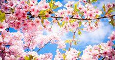 迎春花朵占卜.我是哪一種花呢? - 春天的主角,櫻花櫻花在高大的樹上生長,製造出樹蔭讓人們有了休憩的空間.這樣用溫暖的心守護人們,有著深切思慮的花朵非櫻花莫屬了.櫻花樹要長大需要很長的時間.像櫻花一樣的你,年輕的時候或許保守又固執,但隨著年紀的增長你會越來越有魅力,成為人人仰賴的對象. 能代表你的關鍵字是:守護,獨立,我行我素,努力家,固執