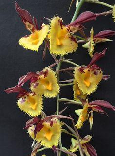 Catasetum Fanfair  (expansum x saccatum)