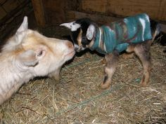 Nice sweater, kid. Goats In Sweaters, Cool Sweaters, Kids, Animals, Image, Young Children, Boys, Animales, Animaux
