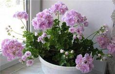 Секреты обильного цветения герани, февраль Balcony Garden, Indoor Garden, Indoor Plants, Outdoor Gardens, Love Flowers, Beautiful Flowers, Flora, China Garden, Geranium Flower