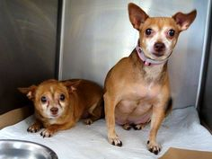NYC - COKI - A1026503 NEUTERED MALE, TAN / WHITE, CHIHUAHUA SH MIX, 13 yrs & MYA - A1026504 SPAYED FEMALE, TAN / WHITE, CHIHUAHUA SH MIX, 13 yrs.  Coki & Mya are an adorable (most likely Brother & Sister) pair of Chihuahuas! They cuddle together in their kennel, love each other dearly & would love to be in a new home with each other. **THEY NEED #RESCUE #FOSTER #ADOPTER NOW**  https://www.facebook.com/photo.php?fbid=954164844596395
