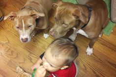 Our Son and His Pit Bulls - A family shares how their rescued pit bulls adore their son