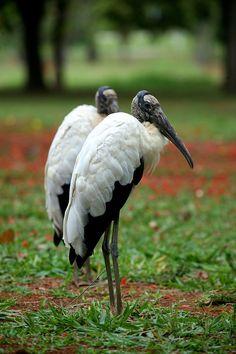 Wood Storks - a large American wading bird. Shoebill Stork, Stork Bird, Bird Identification, Crazy Bird, Shorebirds, Bird Pictures, Birds Of Prey, Bird Watching, My Animal