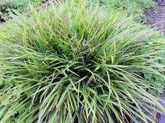 Bunte Japansegge Gras Carex morrowii Variegata Ziergras Staude Bunte Japan-Segge Pflege Schnitt Vermehrung Standort