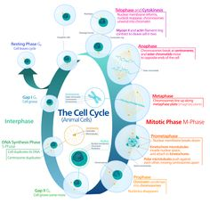 Diagram of the animal cell cycle.
