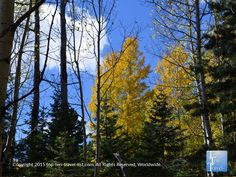A beautiful mixture of aspens and pines on the Weatherford Trail in #Flagstaff Arizona.
