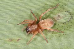 Clubiona rosserae Rosser's sac-spider Spiders, Animals, Animales, Animaux, Spider, Animal, Animais