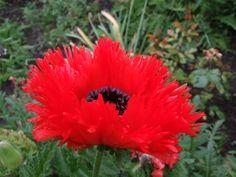 Oriental Poppy Turkenlouis