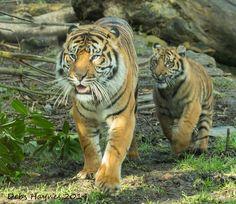 Tiger Cub Chasing Dad | by Debshaynes