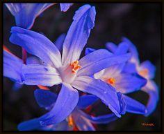 Wildflower (Scilla) | por frank1556