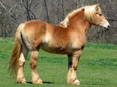 Belgian Heavy Horse, American type. Belgians have been imported into North America for a long time and are the region's most numerous draft. Showing Flemish Horse influence, it's bred to be longer-legged and lighter than the Brabant. Almost exclusively light chestnut with flaxen mane, it exhibits the pangaré trait for pale hair around muzzle and underside of body.