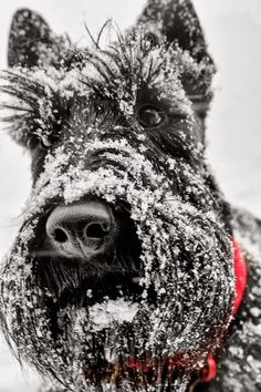 Scotties can withstand the cold due to hundred of years of breeding and conditioning in the harsh Scottish winters.