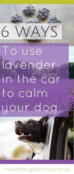 Lavender for dogs is a great natural remedy to help calm and relax your pup. Here a some great tips on using lavender to calm your dog in the car.