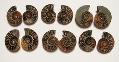 Currently at the #Catawiki auctions:  Fossilized and Opalized Goniatite Ammonites - 32 to 29mm (6)