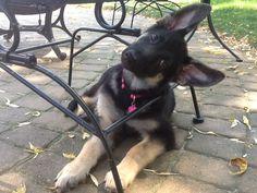 My silly German Shepherd puppy.