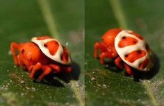 Encyosaccus sexmaculatus is the only known species of the genus Encyosaccus. It is found in found in Colombia, Ecuador, Peru, and Brazil and it's also known as orange tortoise spider. Its bright orange coloration suggests that it might be poisonous Cool Insects, Bugs And Insects, Cool Bugs, Jumping Spider, Paludarium, Beautiful Bugs, Tier Fotos, Amazing Spider, Beautiful Creatures
