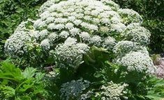 Giant Hogweed    If you see this plant, whatever you do make sure you don't touch it. Here's why.    http://diyeverywhere.com/2017/05/07/if-you-see-this-plant-whatever-you-do-make-sure-you-dont-touch-it-heres-why/