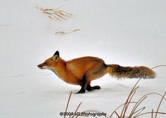 Fox on the run | Hal Trachtenberg | Flickr