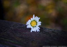 Single flower by parsek76.deviantart.com on @DeviantArt