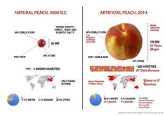 "This artificial vs natural foods phenomenon has grown somewhat since the All-Natural Banana. This infographic explores the differences between the natural, ""wild peach"" and its modern, artificial r..."
