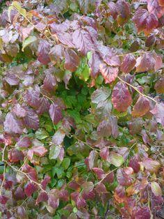 Parrotia persica 'Vanessa' / Eisenholzbaum 'Vanessa' – aus dunkelgrünen Blättern werden im Herbst Blättern in Gelb, Rot und Purpur. Toll für etwas größere Gärten