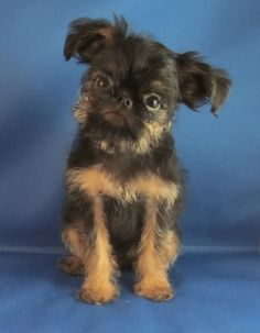 brussels griffon black and tan - Google Search
